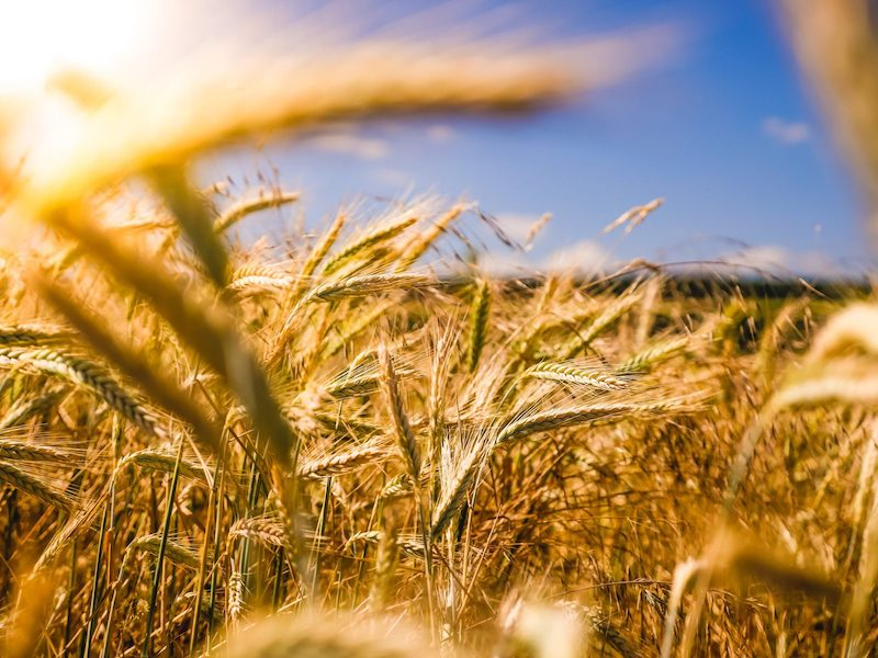 Close up of wheat in a field